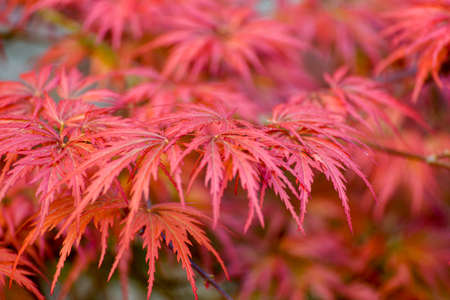 Japanese Maple (Acer Palmatum) .Close-up Of Red Maple Leaves On The Tree