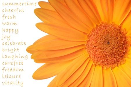 Extreme close up of orange gerber daisy isolated over white photo