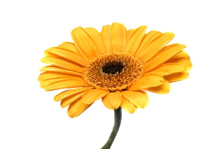 Close-up of a big Gerbera isolated over white background