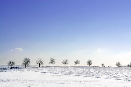 A row of trees in snowy surroundings  with a great blue sky