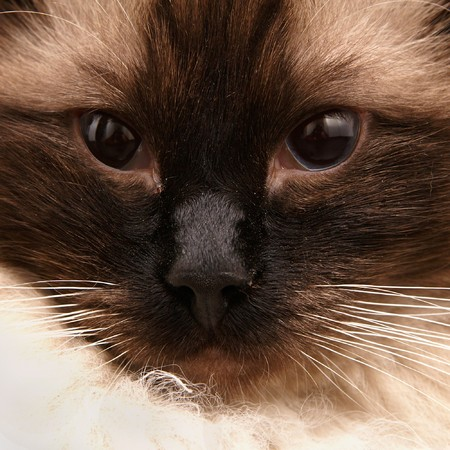 Portrait of Exotic Siamese Longhair
