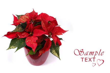 Red Poinsettia with glamours isolated over white background with lots of copy space Reklamní fotografie