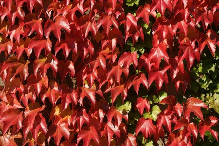 Red Virginian creeper in autumn for background texture photo