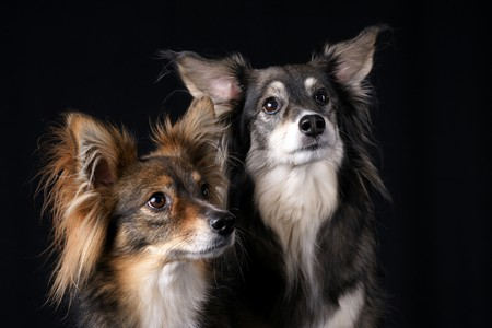black bitch: Two dogs looking attentively over black background