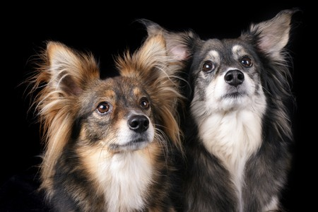 Two dogs looking attentively over black background