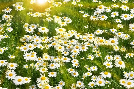 Daisies growin in a field with warm summer sun background Stock Photo - 4543267