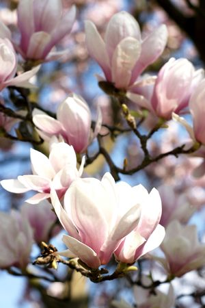 Background of blooming magnolia tree with big pink flowers photo