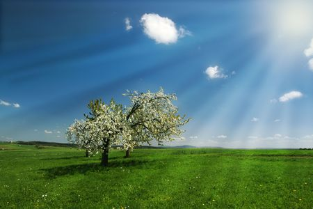 Blossoming cherry trees in rays of sunshine under blue sky. Stock Photo - 4711544