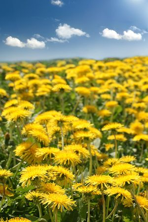 Lots of dandelion growing in a field under blue sky. photo