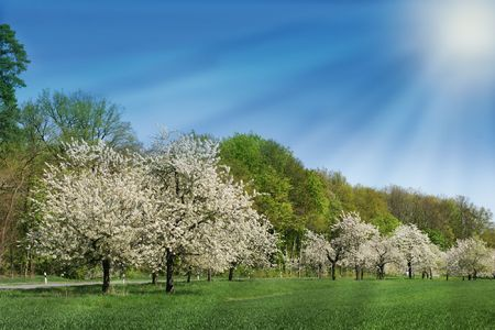 Blossoming cherry trees in rays of sunshine under blue sky. Stock Photo