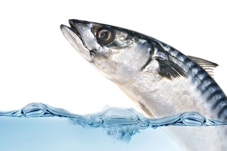 Fresh Mackerel fish jumping out of the water.