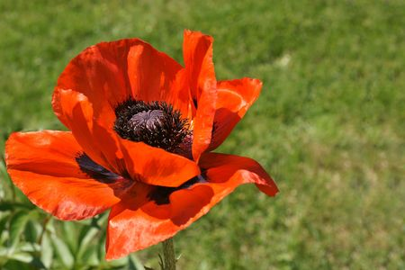 corn flower: Beautiful large red poppy agains green lawn. Stock Photo