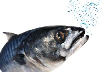 fish head: Mackerel fish with blue bubbles over white. Stock Photo