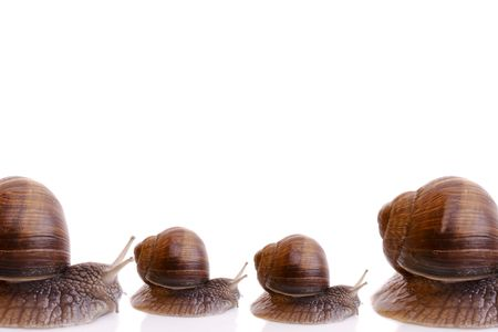 Garden snails isolated on white background. photo