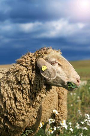munching: Herd of sheep munching fresh camomile in a field