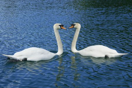 Two swans surrounded by blue water. Stock Photo - 6444716