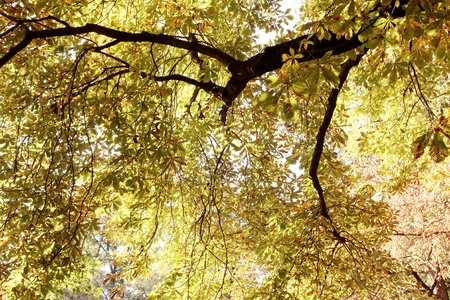 Large chestnut tree in with autumn coloured leaves