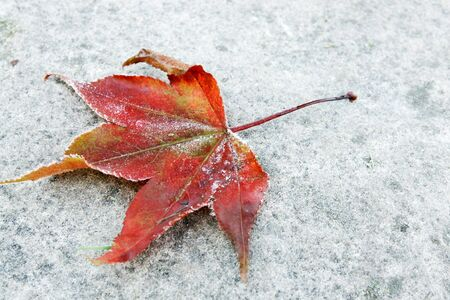 Red leaf with bits of frost on a grey stone