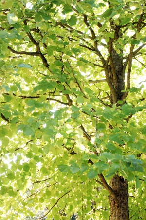 tranquille: Large tree with green an yellow leaves in morning sun