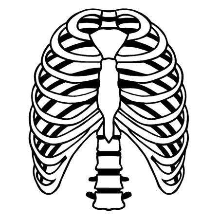 rib cage: Ribs