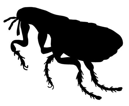 larvae: Flea