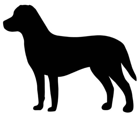 gundog: Chesapeake Bay Retriever Dog