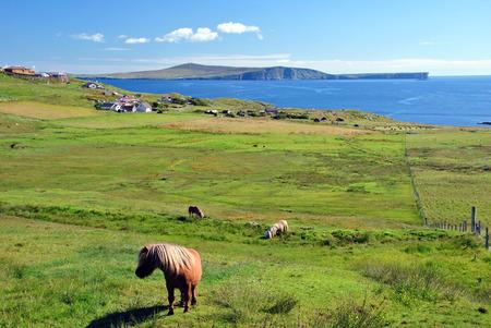 turism: Ponnies on Mainland, Shetland Islands, Scotland, UK