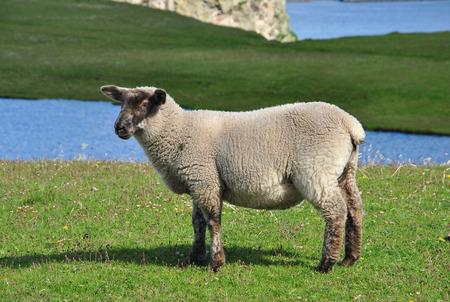 Sheep on Shetland Islands, Scotland, UK