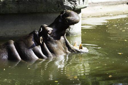 hippopotamus: Hippopotamus