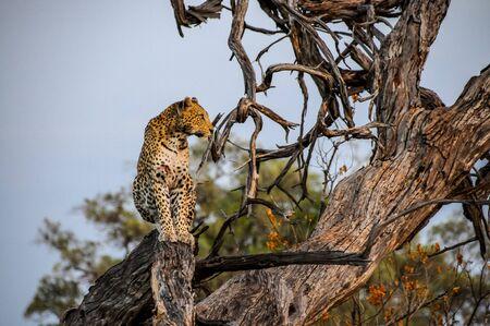 Botswana - Leopard on tree Stock Photo
