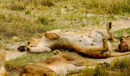 Lioness in complete and little regal relaxation