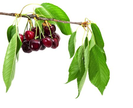 cherry tree with leaves and fruit isolated photo