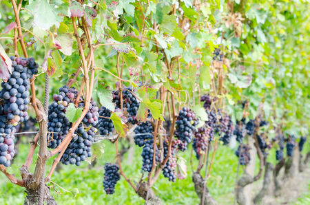 Red grapes and leaves in vineyard landscape photo
