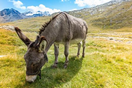 burro: lindo burro que come la hierba en paisaje de montaña