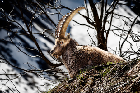 capra: Alpine horned mammal named steinbock or capra ibex in mountain