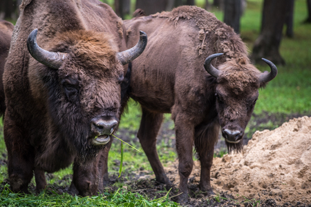 endangered species: European male buffalo in a park is an endangered species Stock Photo
