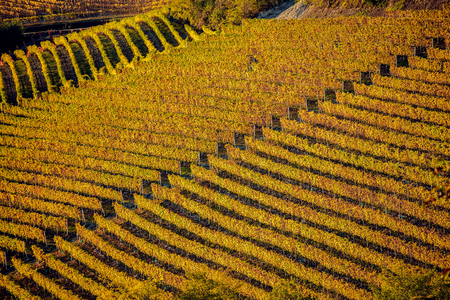 Vineyards in langhe region of northern italy in autumn with full bright colors Standard-Bild