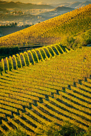 Vineyards in langhe region of northern italy in autumn with full bright colors 版權商用圖片