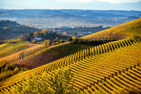 Vineyards in langhe region of northern italy in autumn with full bright colors 版權商用圖片 - 105558231