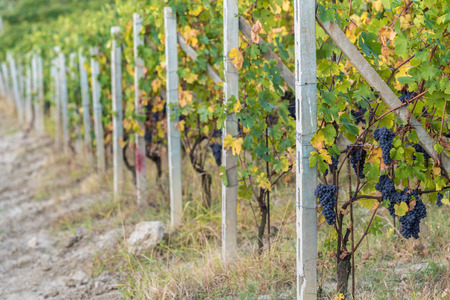 Row of grapes in autumn, in Northern Italy