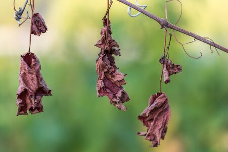 Dry leaves of grapevine Stock Photo