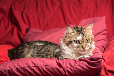 Portrait of a young european male tabby cat on red couch staring
