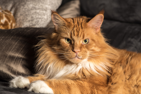 Portrait of a young red maine coon male cat on grey couch