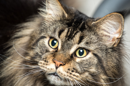 grey cat: Portrait of a young grey maine coon male cat Stock Photo