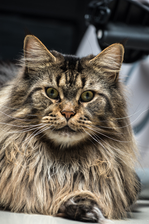 Portrait of a young grey maine coon male cat Lizenzfreie Bilder