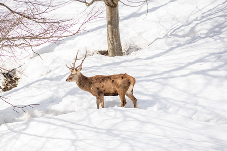 male deer in a park in northern italy on winter