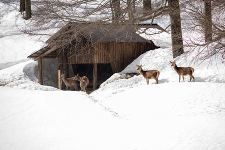 young female deers near a recovery in cold winter