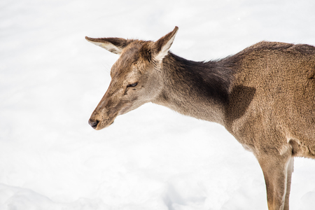 Female deer head and shoulders isolated on white snow on winter