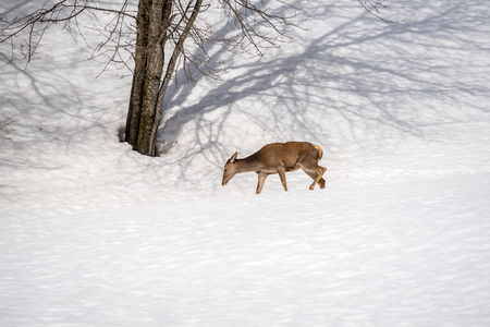 female deer walking in the snow on winter in a park 版權商用圖片 - 99084591