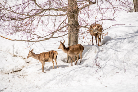 Group of deers in a park in northen italy on winter wih snow